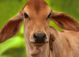 cow urine